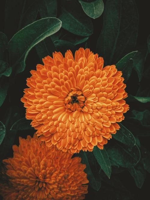 پس زمینه گل نارنجی