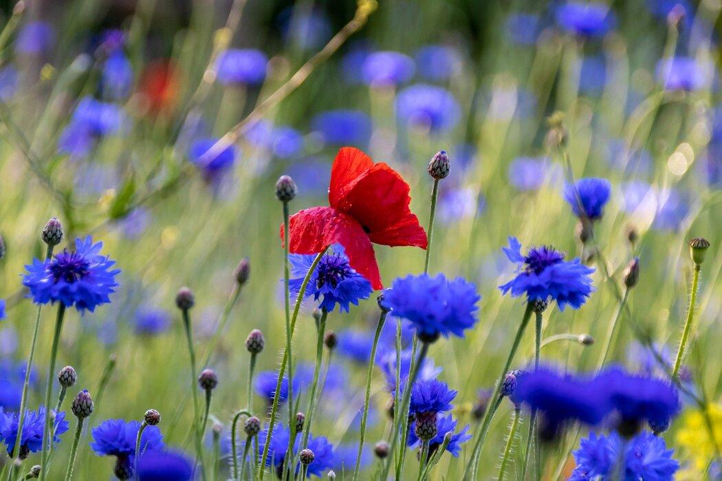 poppy-5270458_1920.jpg