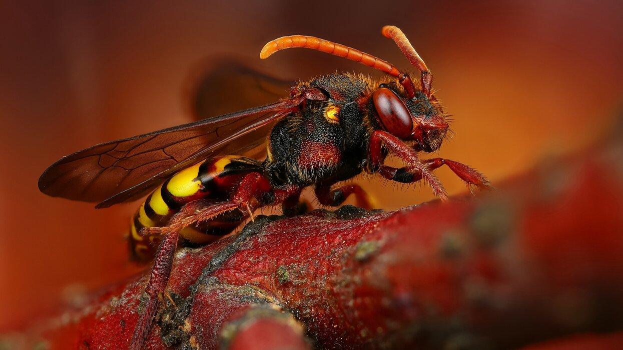 عکس زنبور.jpg