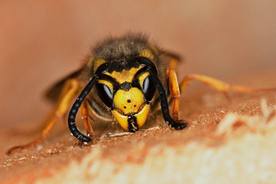 عکس زنبور با کیفیت بالا.jpg