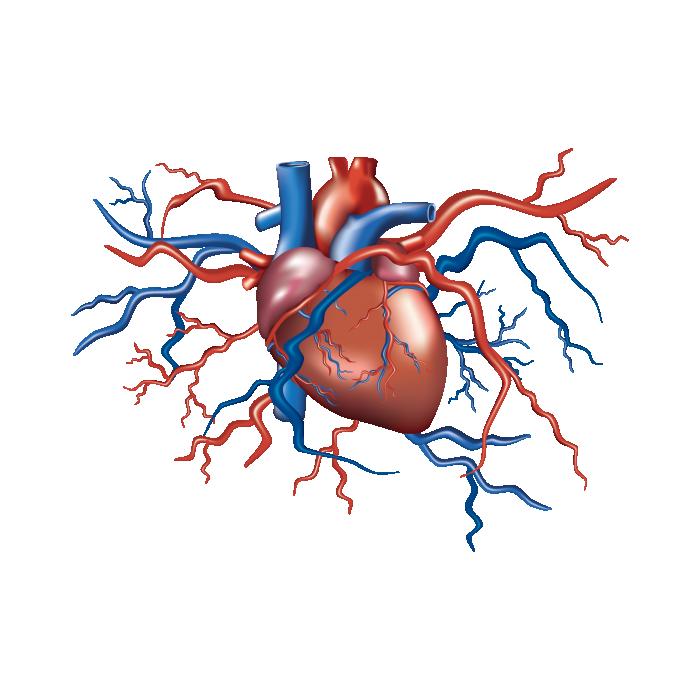 وکتور قلب انسان (1).png