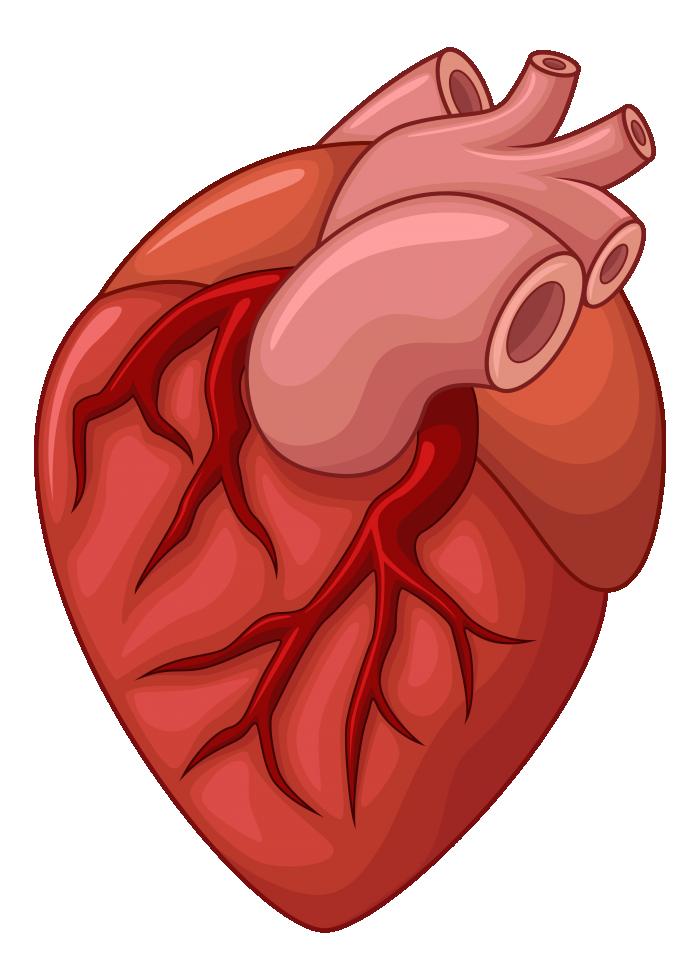 وکتور قلب انسان (2).png