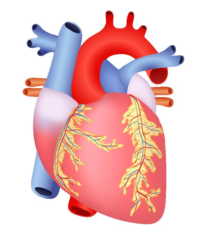 وکتور قلب انسان (3).png
